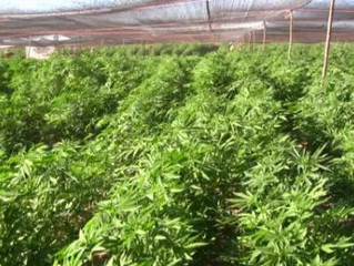 Legalizing Marijuana Hurts Mexican Cartels