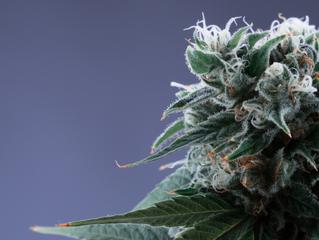 Hybrid Marijuana: More Than Just Indica and Sativa
