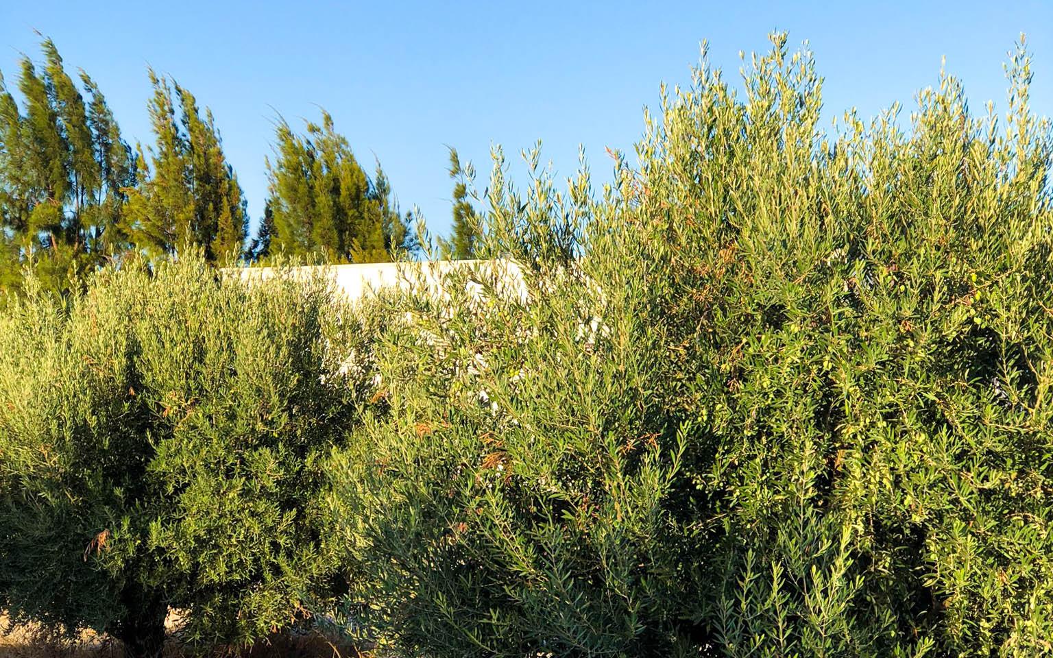 Vivienda en Mahoya. Casa entre olivos en Abanilla. Exterior olivos