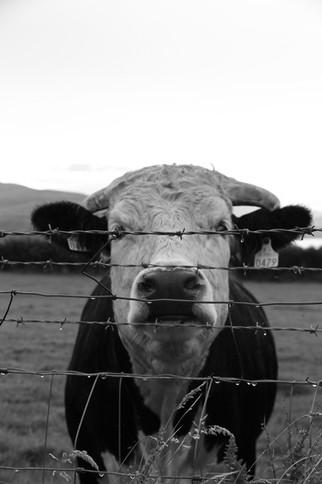 Dingle.Cow.2013
