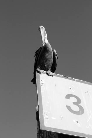 SouthCarolina.Pelican.2014