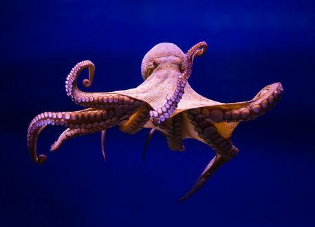 octopus-aquaculture-farming-environmenta
