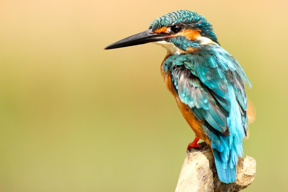 bird_kingfisher_beak_perch-1263376