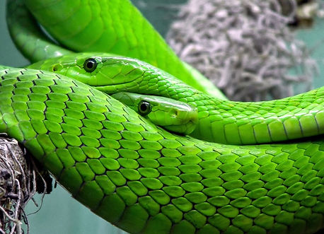 animal-green-green-mamba-38268_edited_ed