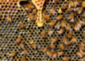 apis-mellifera-bee-beekeeping-56876_edit