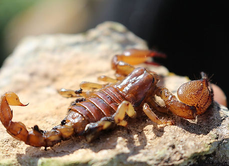 Scorpion_tunisia.jpg
