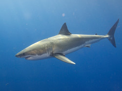 Great_White_Shark_(14914320281)
