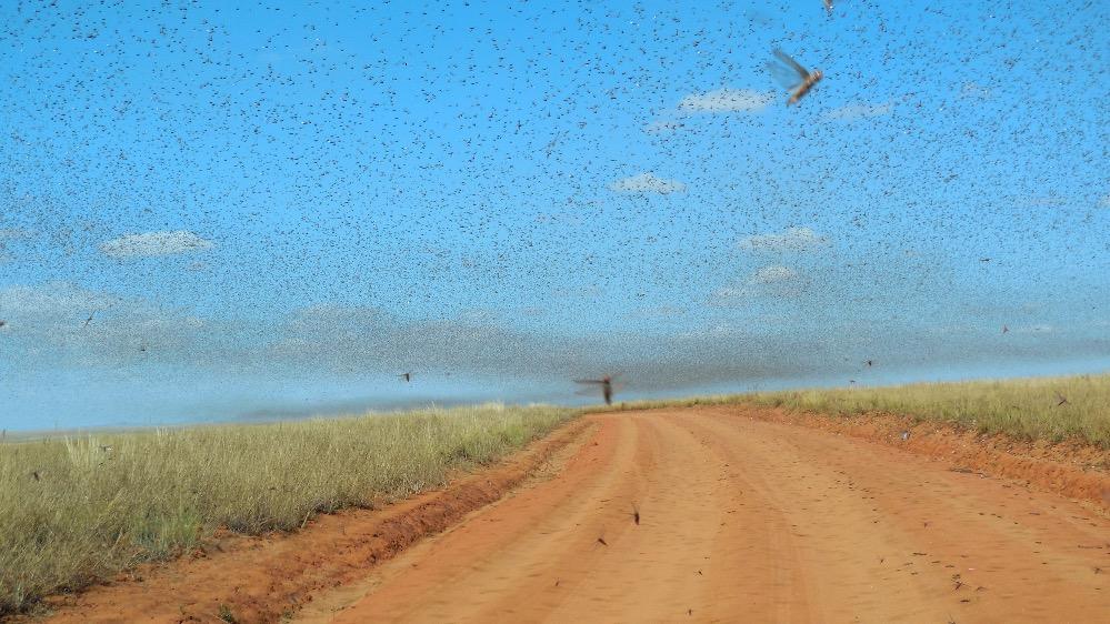 Swarm_of_Locusts_edited