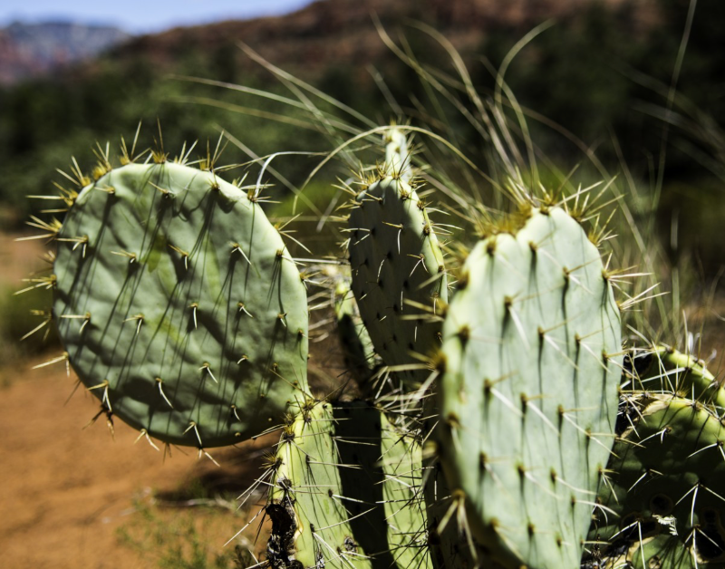 Biomimétisme Cactus Métabolisme