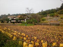 Pineapples, South Taiwan