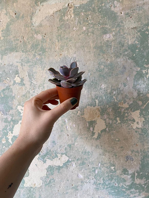 Baby Succulent- pinky