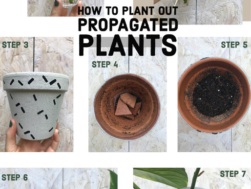 Potting out propagated babies!