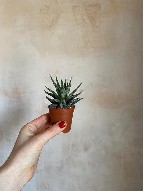 Baby Aloe