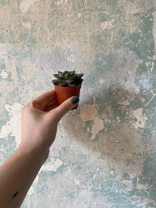 Baby Succulent- dark green