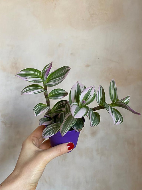 Inch Plant