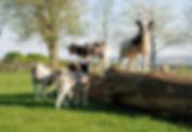 jacob lambs.jpg