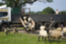 sheep-leaving-lorry.jpg