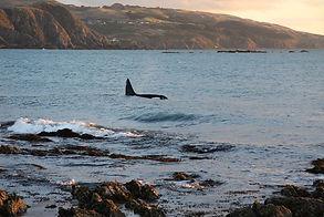 orca - plimmerton.jpg