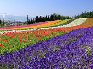 Lavender Hokkaido.jpg