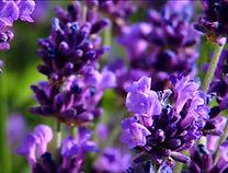 994817335-lavande-plante-herbacee-motif-
