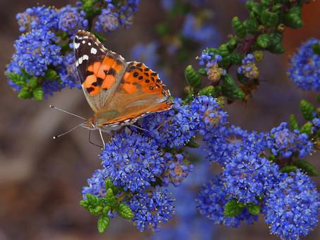 Irish Folklore - Message of the Butterflies