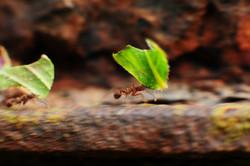 Panning de formigas