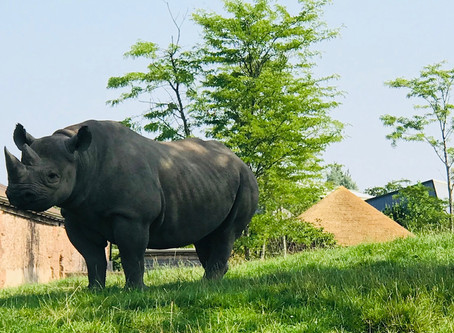 Too hot even for rhinos to trot