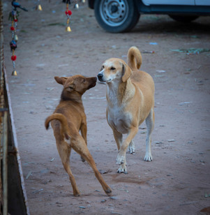 Street dogs, India