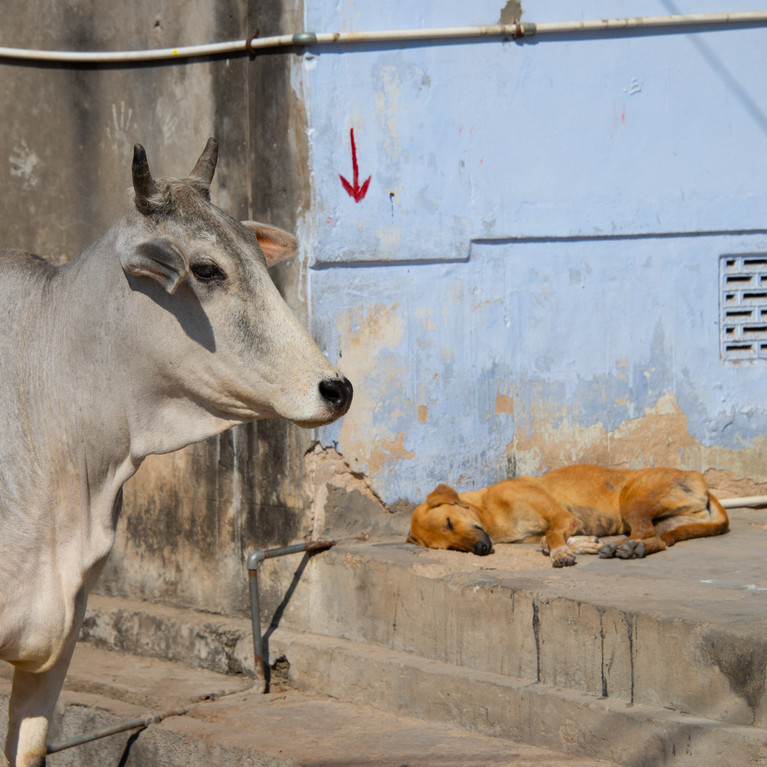 Cow and dog, India