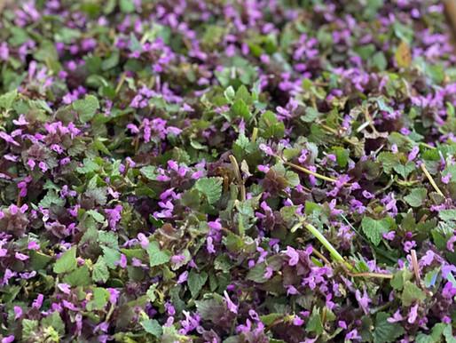 Hluchavka nachová - Lamium purpureum.