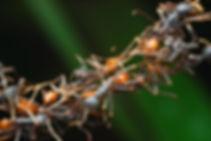 Eciton7j-Alex-Wild-Web.jpg