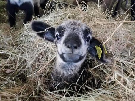How Do Ewe Prepare for Lambing Season?