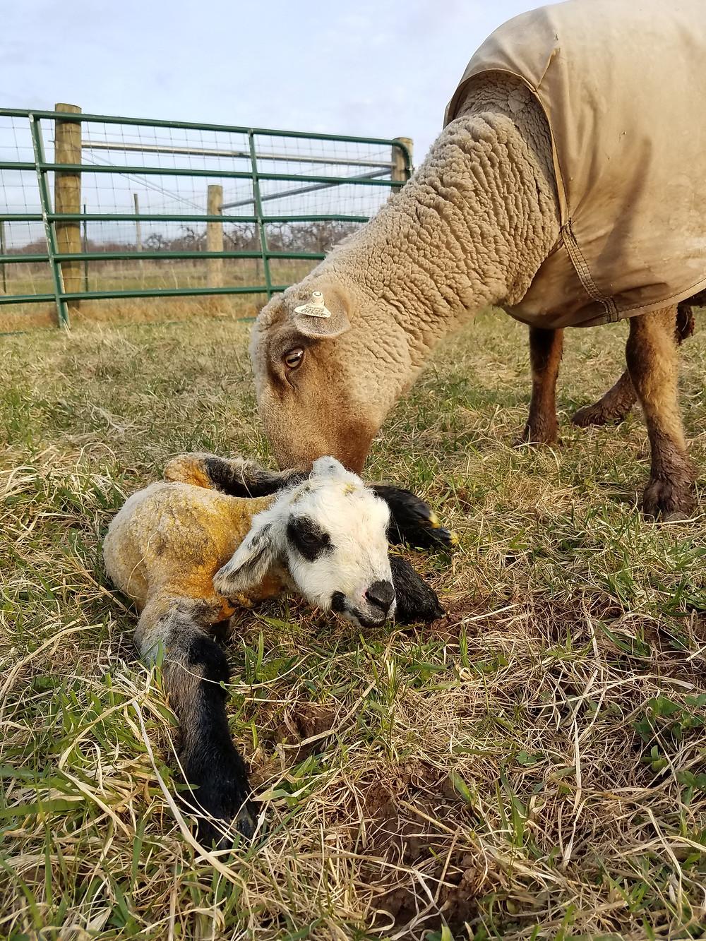 Romeldale CVM Sheep