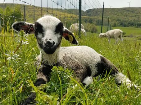 How Do Ewe Raise Happy Lambs?