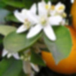 Magnolia & Orange Blossom Fragrance.jpg