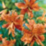 Tiger Lily Fragrance.jpg