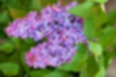 Lilac Fragrance.jpg