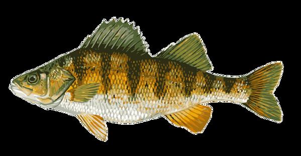Perch - Bandit Sportfishing, LLC - Lake