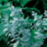 Eucalyptus fragrance.jpg