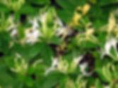 Honeysuckle Fragrance.jpg