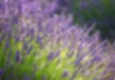Lavendar Fragrance.jpg