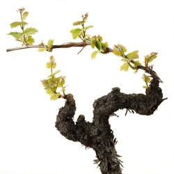 Michel Carossio - cep de vigne.jpg