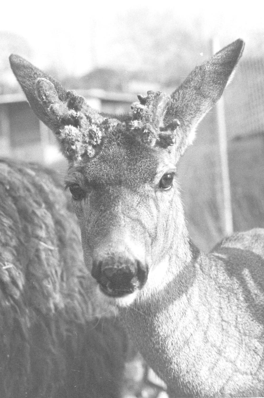 Zoo Deer