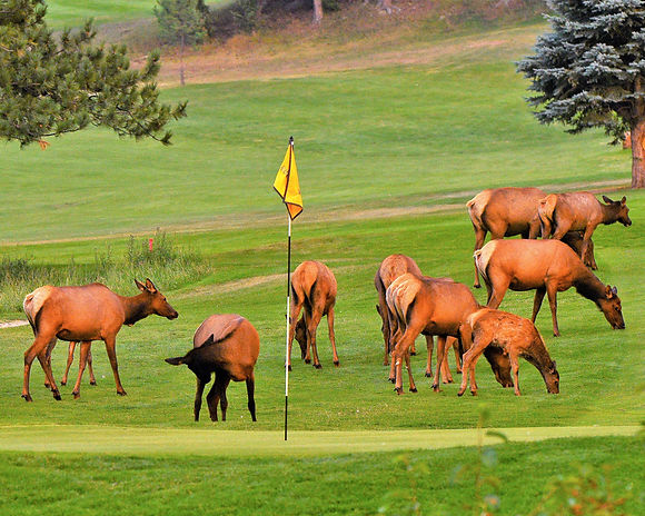 Keys on the green...No Elk on the green