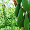 Thumbnail: 木瓜 Papaya
