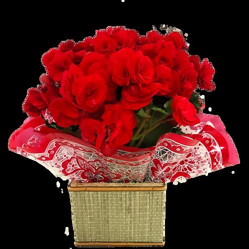 Vaso de Begonia