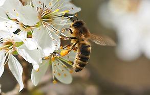 Bee on tree blossom by kie-ker.jpg