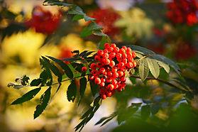 Rowan berries by MabelAmber.jpg