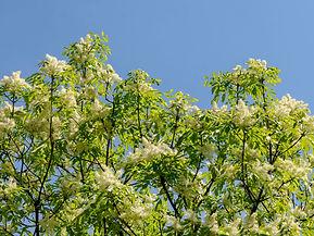 lilas japonais.jpg