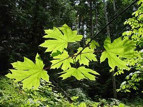 Bigleaf maple leaves.jpg